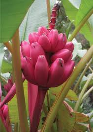 pink velvet banana state by state gardening web articles