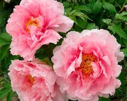 Very Pretty Flowers - 118 best peonies images on pinterest flowers garden flower