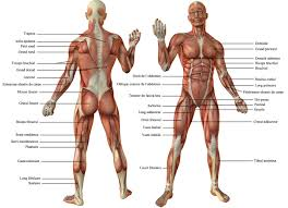 Human Anatomy Full Body Picture Les Muscles Poses Chara Pinterest Muscles Anatomy And