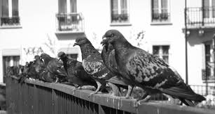 How To Get Rid Of Pigeons Off My Roof by Pigeons A Love Story U2013 Medium Long U2013 Medium