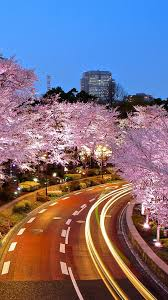 10 cherry blossom wallpapers for your iphone android smartphones