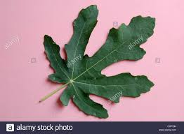 closeup studio shot single leaf from mexican fig tree on stock