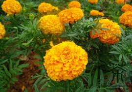 aliexpress buy use as ornamental plants tagetes erecta seeds