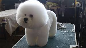bichon frise golf head cover westminster dog show behind the scenes in photos abc13 com