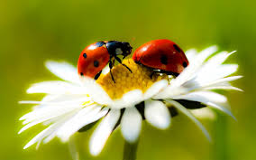 picture ladybug 1 attractive funny and wild animal infowpb com