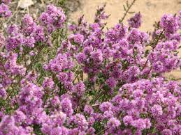 australian native ground cover plants more native shrubs archives mallee native plants mallee native