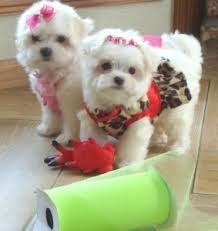 Seeking Teacup And Teacup Maltese Puppies For A Home Danvers