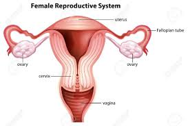 Human Anatomy In Pdf Reproductive System Photos In Hd Tag Female Reproductive System