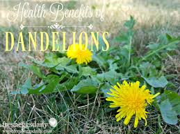 Benefits Of Backyard Chickens by The Health Benefits Of Dandelions For Chickens And Ducks Fresh