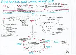 glycolysis and citric acid cycle jpg 2 338 1 696 pixels study