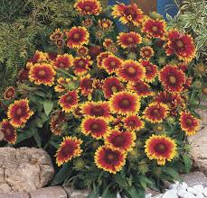 hanging basket plants for sun annuals in pots baskets or beds provide easy winter color for the