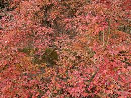 it u0027s not only wisteria but autumn leaves are also amazing autumn