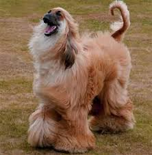 afghan hound long haired dogs pin by alida bester on afghan hound pinterest afghan hound