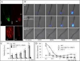 a novel role for the root cap in phosphate uptake and homeostasis