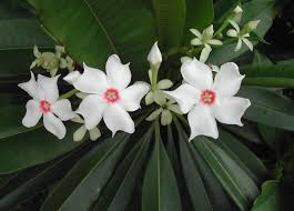 Hawaii Plants 5 Common Poisonous Plants In Hawaii