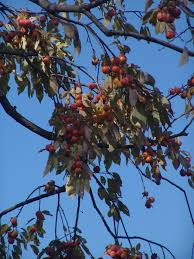 backyard edible fruit trees u2013 the scott arboretum u0027s garden seeds