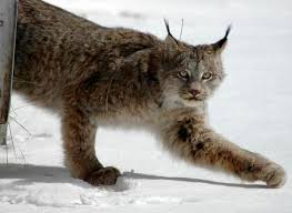 Colorado traveling with cats images Lynx relocated to colorado traveled 1 200 miles back to canada jpg