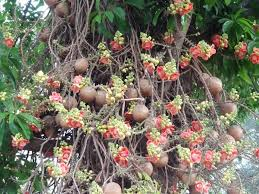 cannonball tree found mostly in south america and the caribbean