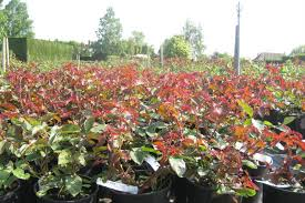 wholesale roses wholesale roses rumwood nurseries and garden centre