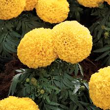 Marigolds Shade by Moonstruck Yellow Marigold Seeds