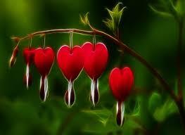 bleeding hearts flowers bleeding hearts flower agriculture nigeria