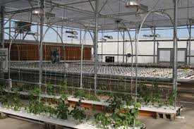 pole beans growing from nft channels growers supply
