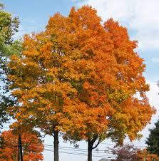 acer saccharum sugar maple trees in fall colors newark u2026 flickr