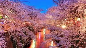 cherry blossom tree hawk