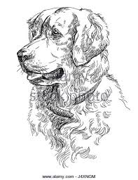 golden retriever puppy black and white stock photos u0026 images alamy