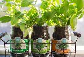 garden in a jar herb set 3 pack u2013 back to the roots