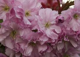 cherry blossom tree facts cherry kwanzan tree facts hunker