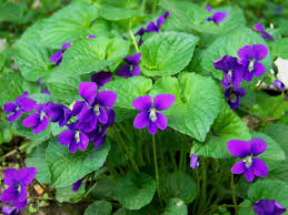 native iowa plants wild violets care u2013 how to grow wild violet plants auntie