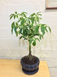 dwarf umbrella tree parasol schefflera indoor house plant