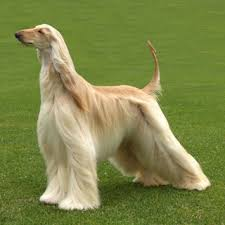 afghan hound vetstreet view topic champions show dog rp chicken smoothie