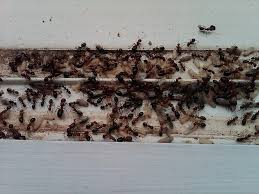 Very Small Ants In Bathroom Ants Everywhere Raleigh Durham Chapel Hill Cary North