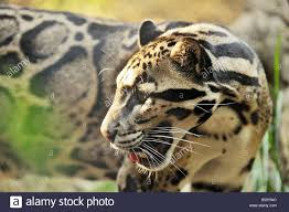 clouded leopard at the nashville zoo at grassmere stock photo