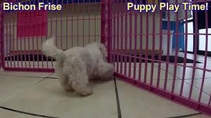 pomeranian x bichon frise sale bichon frise puppies dogs for sale in saint louis county
