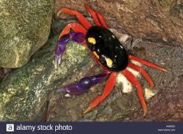 halloween crab halloween krabbe halloweenkrabbe halloween landkrabbe