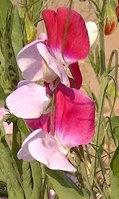 sweet pea flowers sweet pea