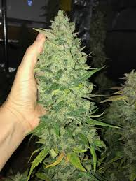 cannabis flower led marijuana cannabis growing veganic cheese under fluence