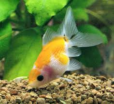 pearlscale goldfish pearlscale fancy goldfish information care