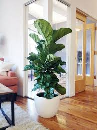 Indoor Plant For Office Desk Fiddle Leaf Fig In A Large White Pot Will Make Your Space Chic
