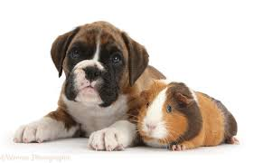 boxer dog 2015 pets boxer puppy and guinea pig photo wp34845