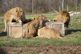 thanksgiving exclusive lions devour formal