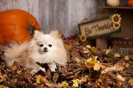 a happy thanksgiving but avoid a trip to the animal hospital