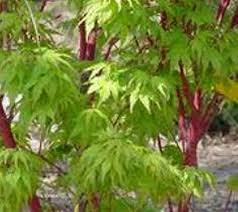 Ornamental Maple Tree Plants For Dallas Your Source For The Best Landscape Plant