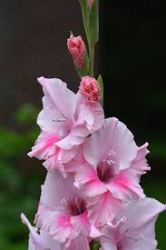 gladiolus flowers how to keep your gladiolus flowers from falling