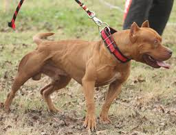american pitbull terrier apbt blog do pit bull american pit bull terrier sigla apbt pitbull