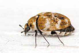 Rug Bugs How To Get Rid Of Carpet Beetles Bob Vila