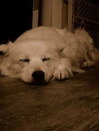 american eskimo dog apartment adopt frosty on dogs as and 3 year olds